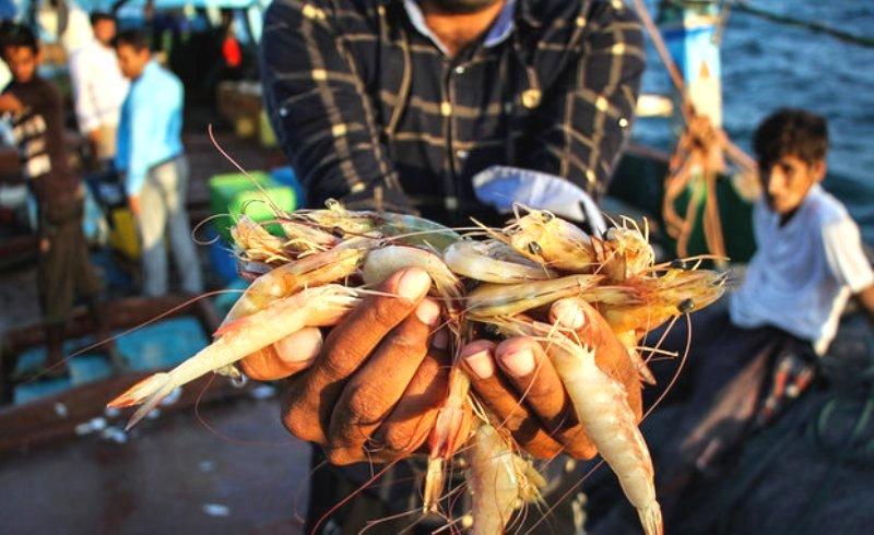 صید میگو در بوشهر ۴۹ درصد کاهش یافت