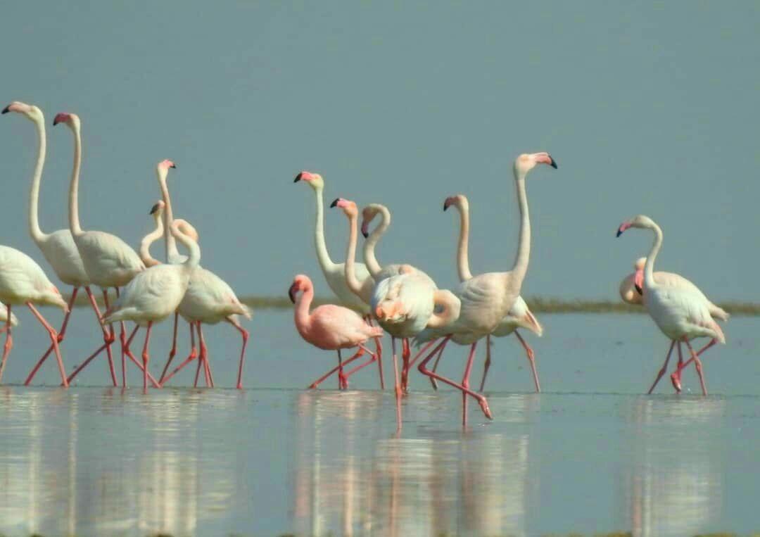 پرندگان سرگردانی گه در سال۹۸ در ایران مشاهده گردیدند