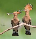 پرندگانی با یک راسته، یک خانواده و یک گونه در ایران